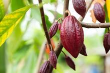 Cacao Tree (Theobroma Cacao). ...
