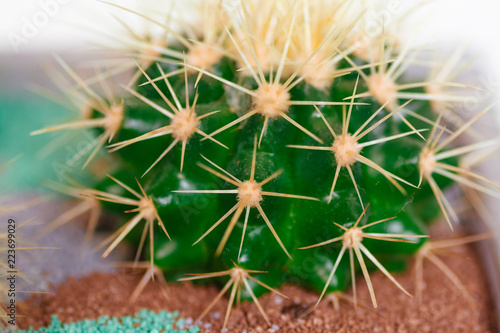 Foto op Plexiglas Cactus Close up of cactus in a pot