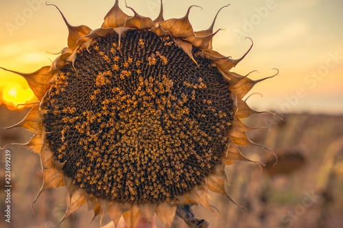 Fotografía  Sunflowers dry due to long summer in a cultivated land
