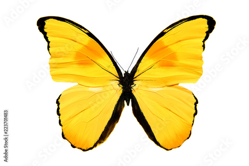 Obraz na plátně  yellow butterfly isolated on white background