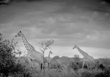 3 Giraffes In The Tsavo - Pano...