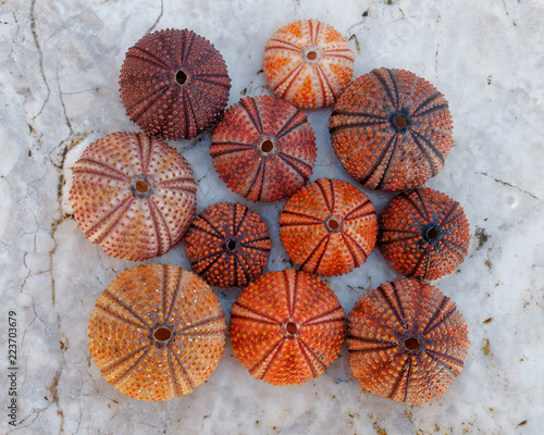 Fotografie, Obraz red orange colored sea urchin shells on white rocky beach