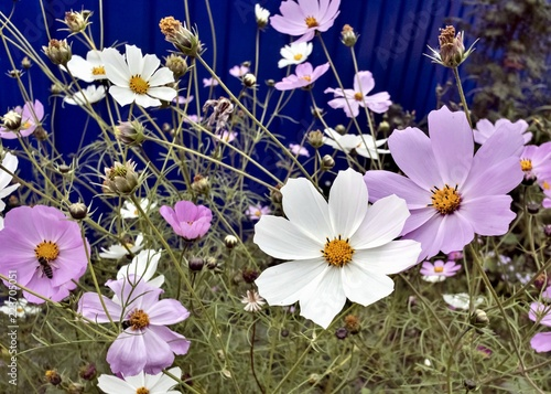 Fotobehang Bloemen beautiful white and purple flowers of cosmea