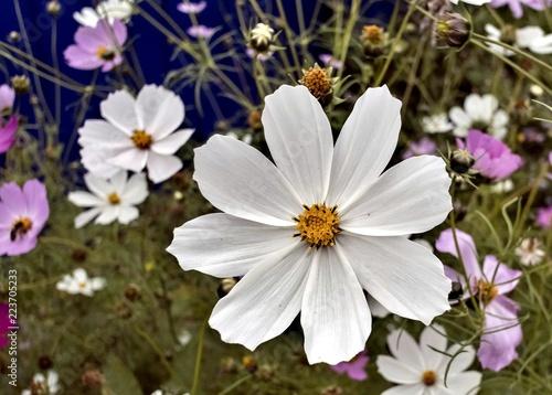 Foto op Plexiglas Bloemen beautiful white flower of cosmea