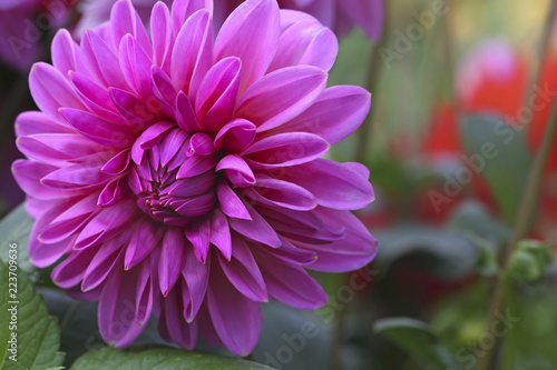 Cyclamen color dahlia bud on gn flower bed