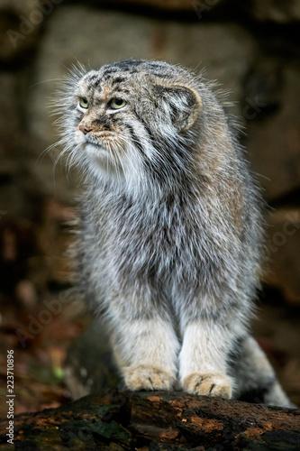 Manul or Pallas's cat, Otocolobus manul, cute wild cat from Asia. Fototapet
