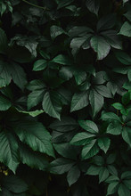 Close Up Of Green Wild Vine Leaves In Garden