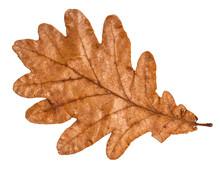 Dried Fallen Brown Autumn Leaf Of Oak Tree
