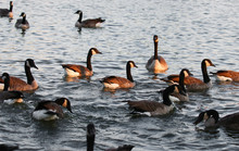 Canadian Geese Feeding In The City Park