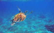 Sea Turtle With Orange Shell Underwater Photo. Marine Green Sea Turtle. Wildlife Of Tropical Coral Reef. Sea Tortoise