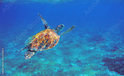 Cadres-photo bureau Tortue Sea turtle with orange shell underwater photo. Marine green sea turtle. Wildlife of tropical coral reef. Sea tortoise