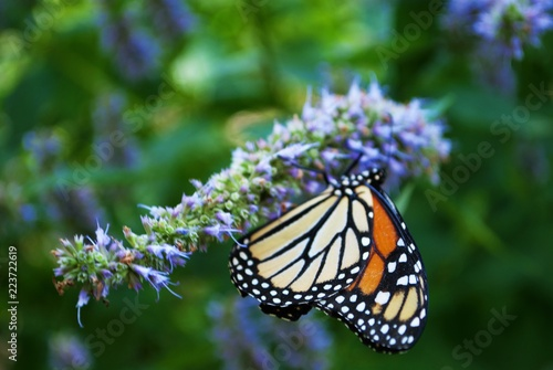 Monarch butterfly with a broken wing on a blue Veronica flower