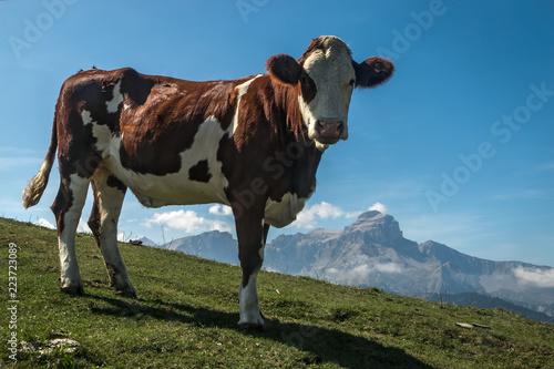 Poster de jardin Vache Vache à l' alpage avec la montagne de l' Obiou , Massif du Dévoluy , Hautes-Alpes , France