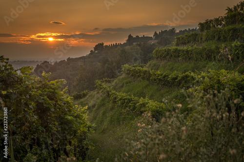 Fotografia  vineyard at sunset in italy