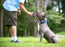 A Gray And White Pit Bull Terrier Mixed Breed Dog Offering Its Paw To A Person