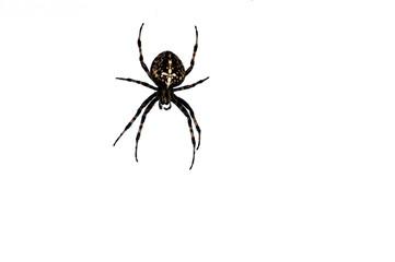 Piękny ogrodowy pająk odizolowywający na białym tle