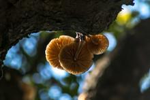Mucidule Visqueuse , Champignon Parasite Sur Un Arbre , En Forêt