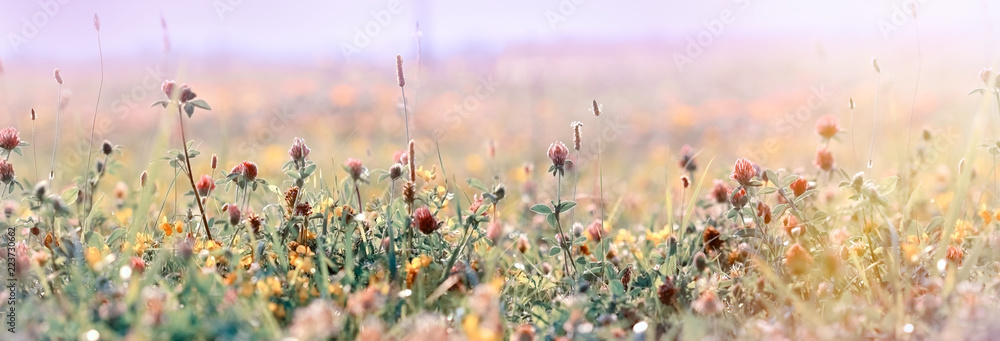 Fototapety, obrazy: Beautiful meadow, flowering meadow flowers, flowering red clover