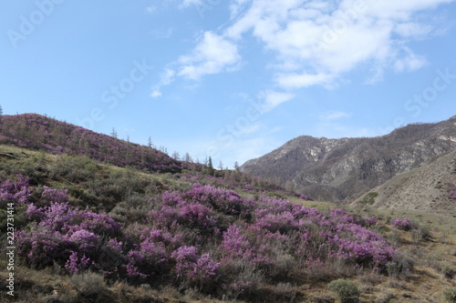 Keuken foto achterwand Grijs Flowers of rhododendron at Mountains Altai (Russia)