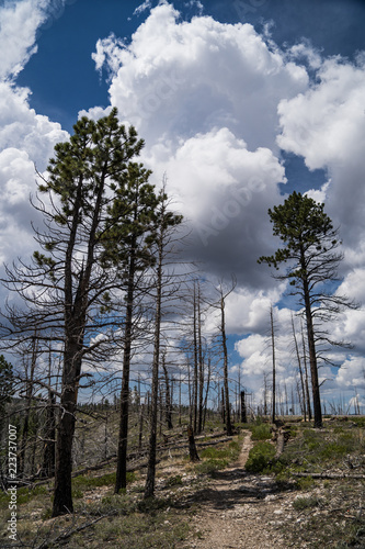 Fotografie, Obraz  Trail in Bryce Canyon National Park leads through a burned forest of charred tre