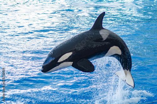 Obraz na plátně a jumping orca