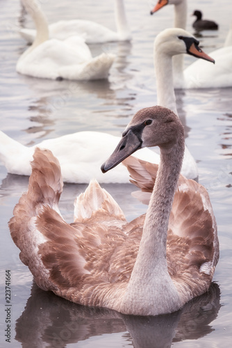 broun young swan on the lake among the white swans, close up vertical portrait.