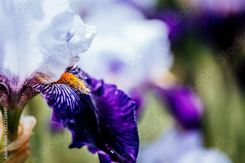 Foto op Plexiglas Iris Iris
