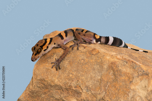 Vietnamese Cave Gecko (Goniurosaurus araneus)/Vietnamese Cave Gecko basking on smooth rock