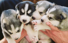 Puppies Siberian Husky. Litter...