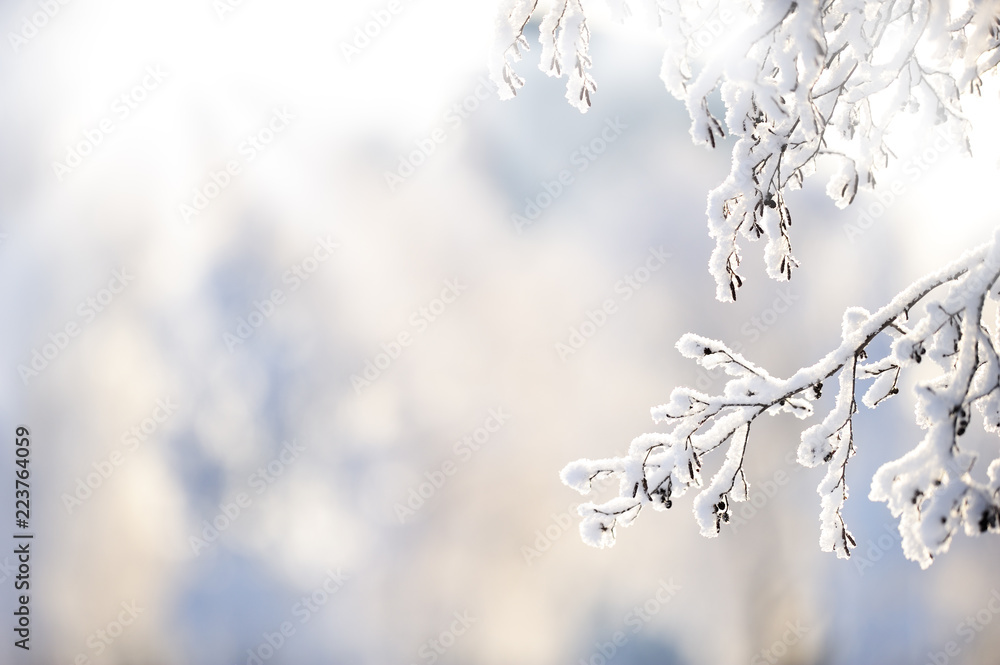 Fototapety, obrazy: Snow covered alder tree (Alnus glutinosa) branch against defocused background. Selective focus and shallow depth of field.