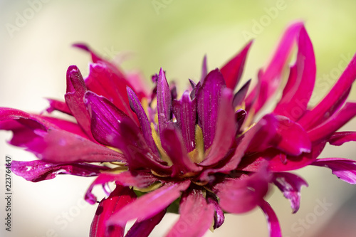 Look at the not quite perfect red blossom of a dahlia.