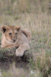 Lion cub sitting by a water hole