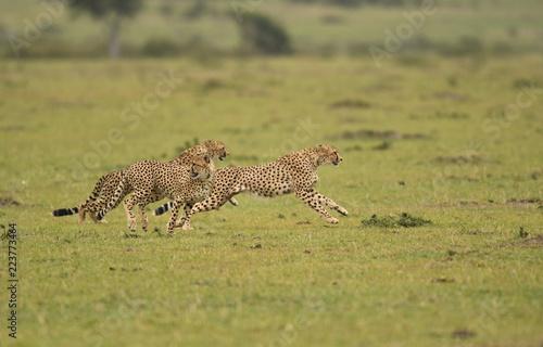 Cheetahs on the run in Masai Mara