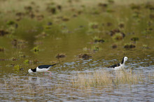 Pied Stilts Himantopus Leucocephalus. Hoopers Inlet. Otago Peninsula. Otago. South Island. New Zealand.