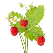 6312648 Wild Strawberry Isolat...
