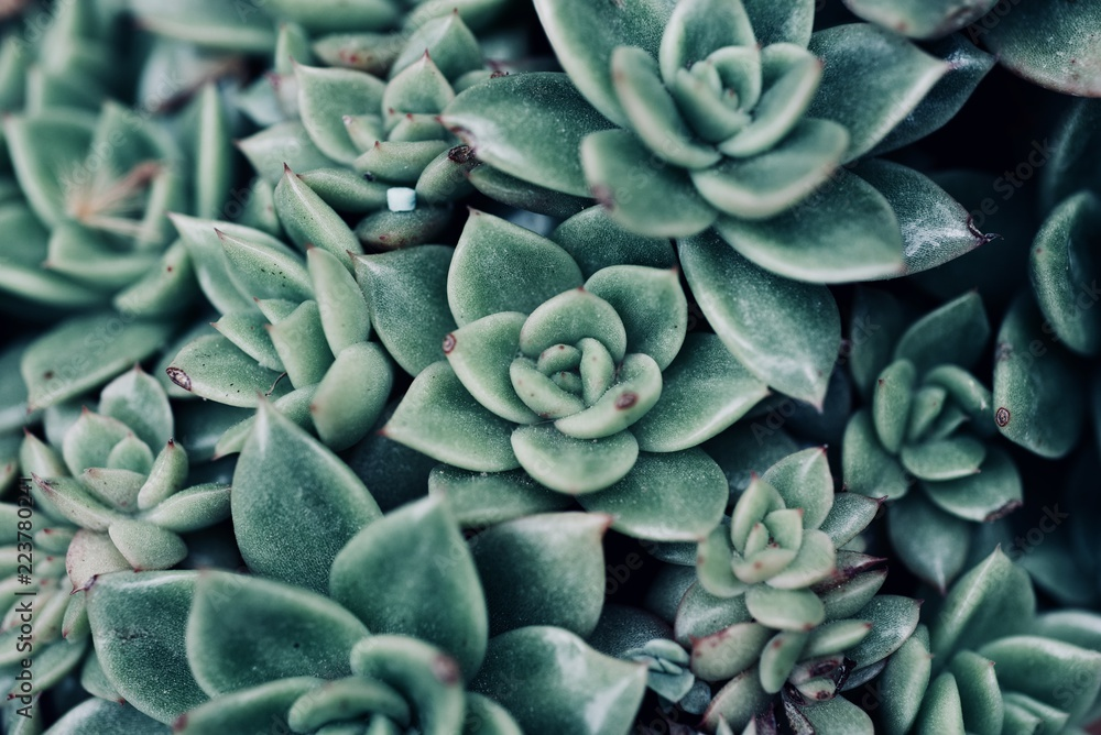 Fototapeta mexican typical plant summer pattern, green cactus, aloe, succulent