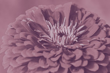 Artistic Dahlia Flower Photo In Violet Dream Soft Style