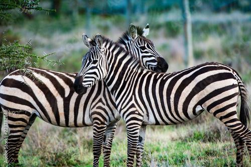 Keuken foto achterwand Afrika Wild zebra pair in Kenya