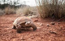 Sonoran Desert Tortoise (Gophe...