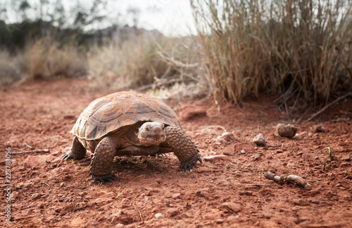 Sonoran Desert Tortoise (Gopherus morafkai)  in Snow Canyon State Park, Utah, US. Threatened vulnerable species   in  Nature Red List.