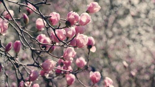 Deurstickers Magnolia Beautiful magnolia tree blossoms in springtime. Bright magnolia flower against blue sky. Romantic floral background.