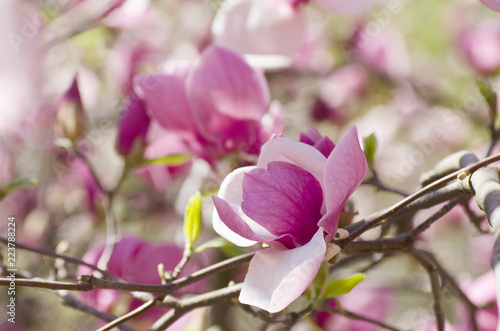 In de dag Magnolia Beautiful magnolia tree blossoms in springtime. Bright magnolia flower against blue sky. Romantic floral background.
