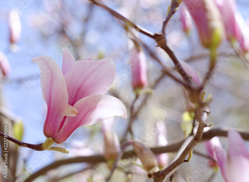 Beautiful magnolia tree blossoms in springtime. Jentle pink magnolia flower against blue sky. Romantic floral backdrop