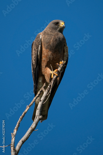 Photo  Swainson's Hawk perched on branch