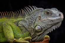 Exotic Common Iguana - Reptile...