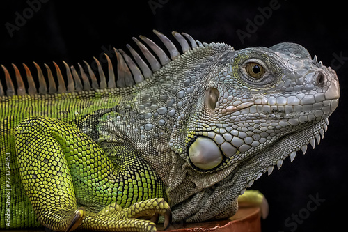 Exotic Common Iguana - Reptile Photo Collection Fotobehang