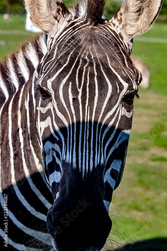 A zebra on a grassy savannah.