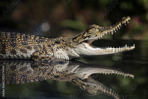 Foto op Plexiglas Krokodil Baby Crocodile - Reptile Photo Collection
