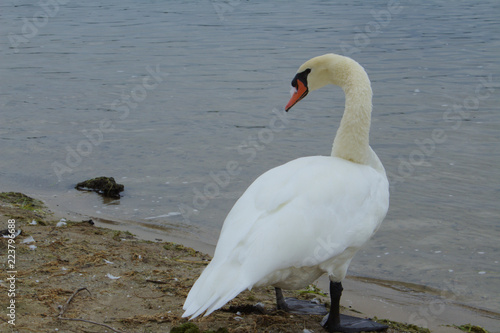 In de dag Zwaan Lone White Mute Swan Standing on a Dingy Beach Looking Over Shoulder