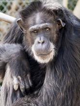 Chimpanzee Sitting Staring